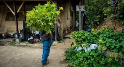 В Грузии задумались об экспорте марихуаны