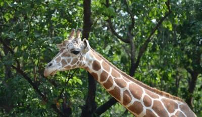 В ЮАР жираф искусал туристов из США
