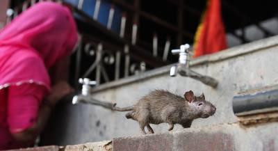 Первый человек заразился крысиным гепатитом в Китае