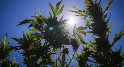 Экспортом марихуаны вГрузии собрались бороться сбедностью
