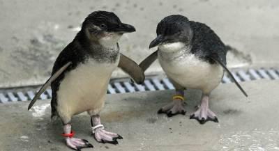 Пингвины-геи в Австралии стали приёмными родителями