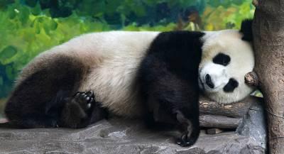 Власти Китая запретили фотографироваться с пандами