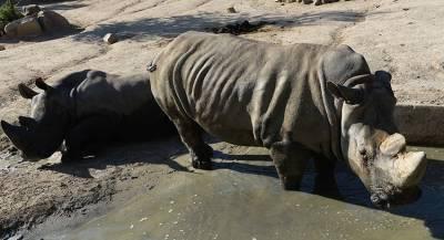 Китай разрешил продавать рога носорогов и кости тигров