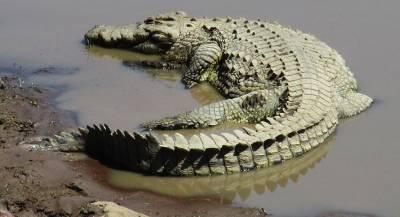 В Африке крокодил поймал леопарда