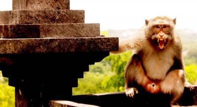 В Индии обезьяны до смерти забили человека кирпичами