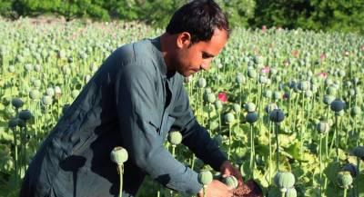 Урожайность мака резко упала в Афганистане