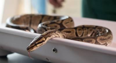 Змея из туалета укусила мужчину за половой орган