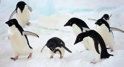 Журналисты прервали съёмку ради спасения пингвинят