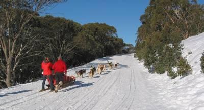 Собачьи упряжки в Дании станут официальным транспортом