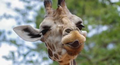 Самка жирафа защитила детёныша от гиен