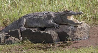 Посетители китайского зоопарка закидали крокодила камнями